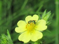beside the pond - creeping buttercup