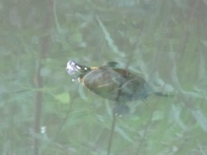 turtle in the earth pond